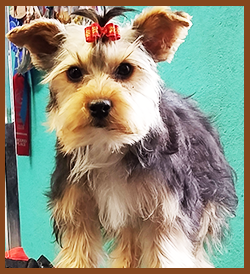 Yorkie With A Bow